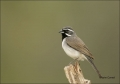 Sparrow;Black_throated-Sparrow;Southwest-USA;Texas;Amphispiza-bilineata;one-anim